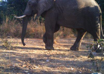 Elephant - Luke Veen - Zambia