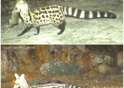 Genet kills - Cape Leopard Trust
