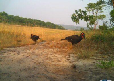 Ground hornbill - National Geographic - Okavango Wilderness Project