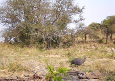 Helmeted guineafowl - Zulu Rock Game Ranch - KZN