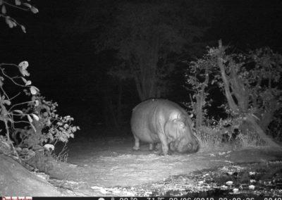Hippo male - Luke Veen - Zambia