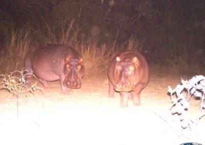 Hippo pair - Luke Veen - Zambia