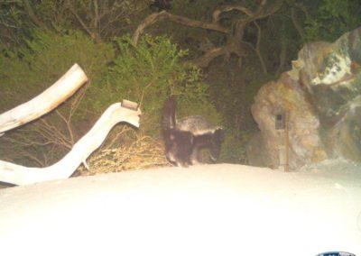 Honey badger - Rooi Els Conservancy