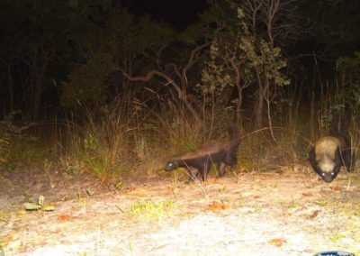 Honey badger pair - National Geographic - Okavango Wilderness Project
