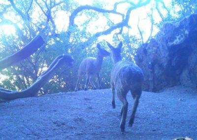 Klipspringer pair - Rooi Els Conservancy