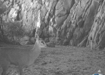 Klipspringer2 - Rooi Els Conservancy