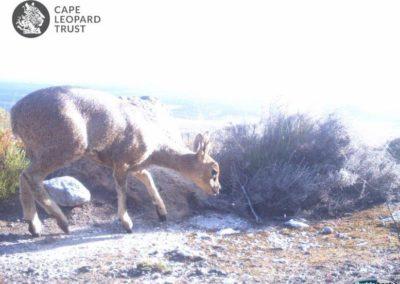Klipspringer_1 - Cape Leopard Trust