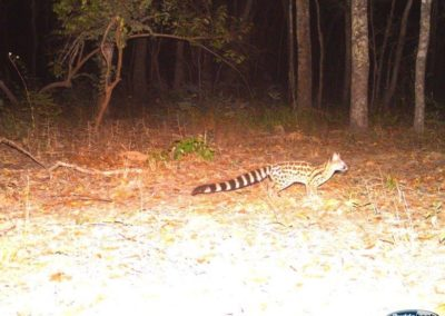 Large spotted genet - National Geographic - Okavango Wilderness Project