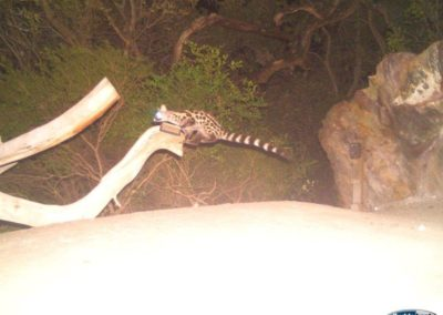 Large spotted genet - Rooi Els Conservancy