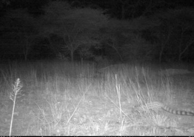 Large-spotted genet - Sean Watson - Botswana