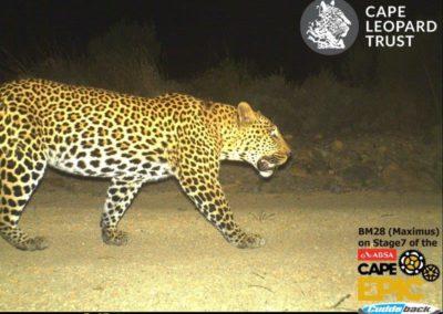 Leopard (11) - Cape Leopard Trust