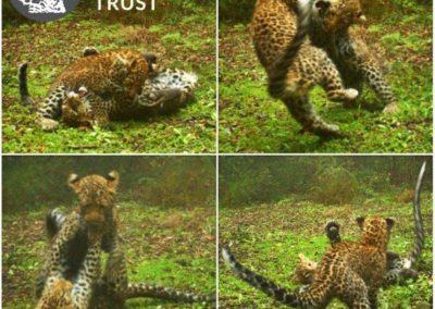 Leopard (12) - Cape Leopard Trust
