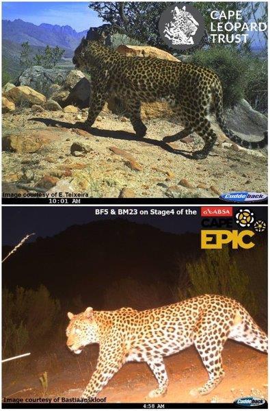 Leopard (13) - E Teixeira - Bastiaanskloof - Cape Leopard Trust