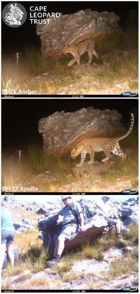 Leopard (14) - Cape Leopard Trust