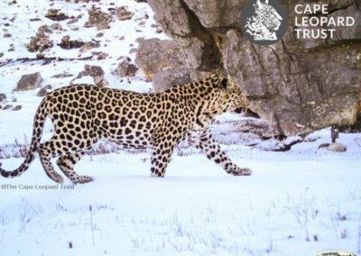 Leopard (15) - Cape Leopard Trust