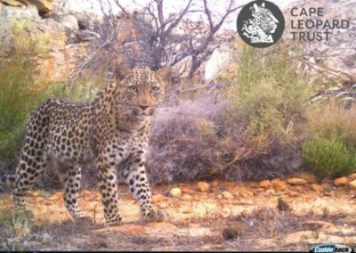 Leopard (16) - Cape Leopard Trust
