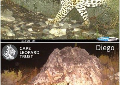 Leopard (17) - Cape Leopard Trust