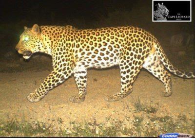 Leopard (18) - Cape Leopard Trust