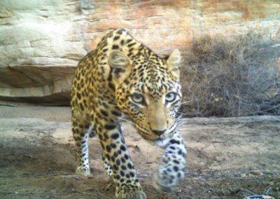 Leopard (19) - Cape Leopard Trust
