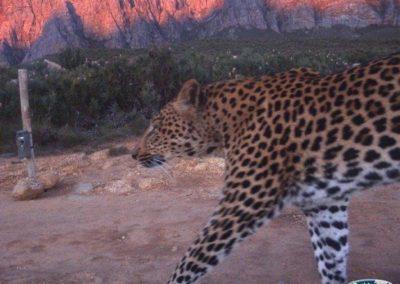 Leopard (2) - Cape Leopard Trust