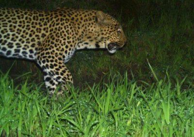 Leopard (21) - Cape Leopard Trust