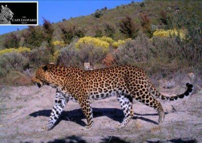 Leopard (22) - Cape Leopard Trust