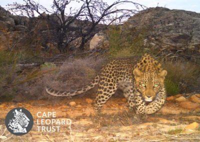 Leopard (23) - Cape Leopard Trust
