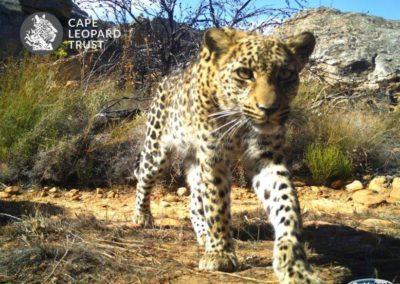 Leopard (24) - Cape Leopard Trust