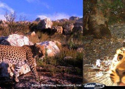Leopard (25) - Cape Leopard Trust