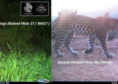 Leopard (26) - Cape Leopard Trust