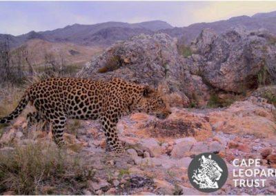 Leopard (3) - Cape Leopard Trust