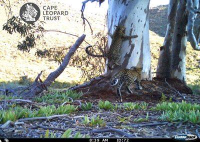 Leopard (4) - Cape Leopard Trust