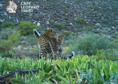 Leopard (5) - Cape Leopard Trust