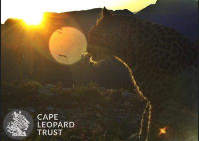 Leopard (6) - Cape Leopard Trust
