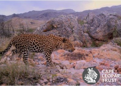 Leopard (7) - Cape Leopard Trust
