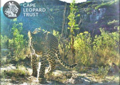Leopard (8) - Cape Leopard Trust