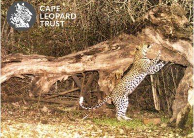Leopard (9) - Cape Leopard Trust