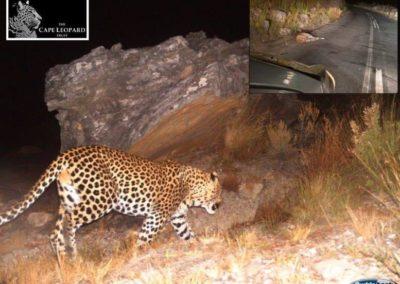 Leopard fatality (20) - C Viljoen - Cape Leopard Trust