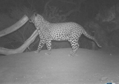Leopard13 - Rooi Els Conservancy