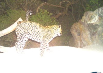 Leopard17 - Rooi Els Conservancy