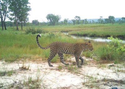 Leopard2 - National Geographic - Okavango Wilderness Project