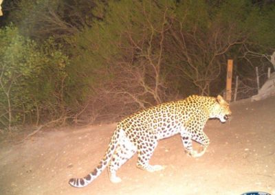 Leopard21 - Rooi Els Conservancy