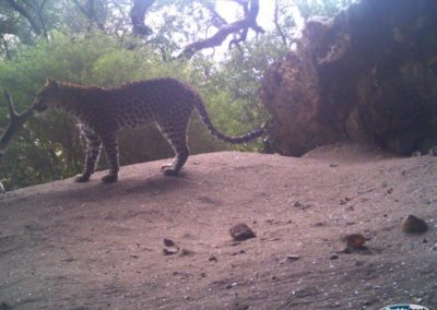 Leopard3 - Rooi Els Conservancy