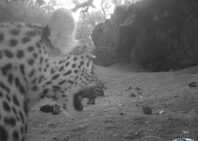 Leopard4 - Rooi Els Conservancy