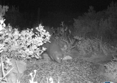 Marsh mongoose - Rooi Els Conservancy