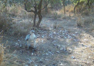 Martial eagle juvenile with kill - Luke Veen - Zambia