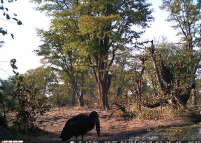Open billed stork - Luke Veen - Zambia