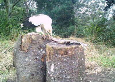 Palmnut vulture feeding - Mike Lang