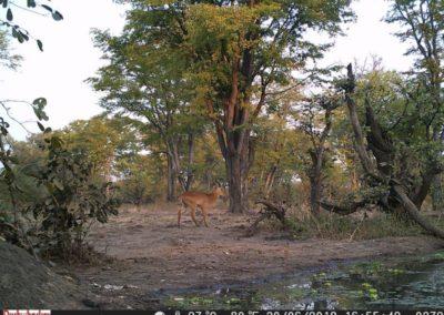Phuku male - Luke Veen - Zambia