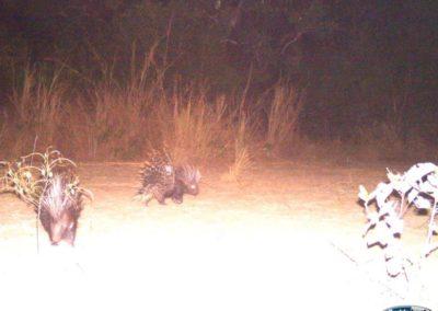 Porcupine pair - Luke Veen - Zambia